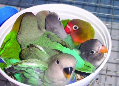1.1.4.c-lovebird-species-profile-pic-e1428418289160.jpg