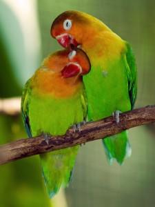 Lovebirds1-225x300.jpg
